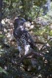 Aigle botté avec la pointe du pied par circuit (gallicus de circaetus) Image stock
