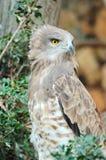 Aigle botté avec la pointe du pied par circuit (gallicus de circaetus) Photos stock