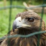 Aigle captif images libres de droits