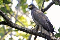 Aigle changeable de faucon Image libre de droits