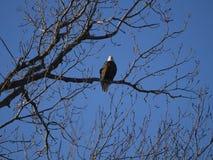 Aigle chauve été perché dans l'arbre images stock