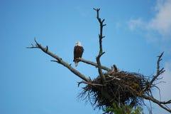 Aigle chauve été perché par le nid Photos stock