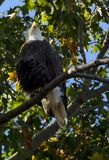 Aigle chauve image libre de droits