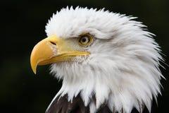 Aigle chauve Images stock