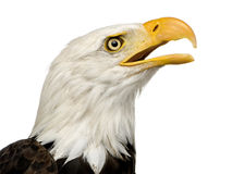 Aigle chauve (22 ans) - leucocephalus de Haliaeetus Photos libres de droits