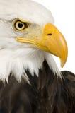 Aigle chauve (22 ans) - leucocephalus de Haliaeetus Images stock