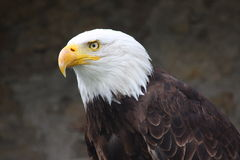 Aigle chauve photographie stock