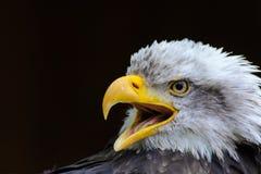 Aigle chauve Image stock