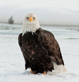 Aigle chauve adulte   image libre de droits