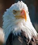 Aigle chauve américain image libre de droits