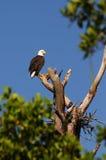 Aigle chauve américain photo libre de droits