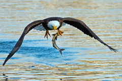 Aigle chauve américain Image stock