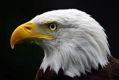 aigle chauve américain Photos stock