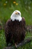 aigle chauve américain images stock