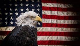 Aigle chauve américain avec l'indicateur Photos stock
