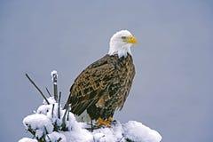 Aigle chauve américain en hiver photo stock