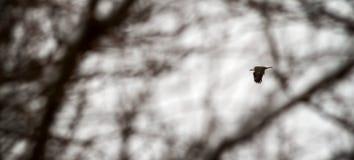 Aigle chauve américain en vol Image libre de droits