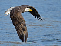 Aigle chauve américain en vol photos libres de droits