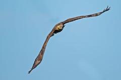 Aigle chauve américain juvénile Photographie stock libre de droits