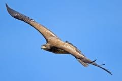 Aigle chauve américain juvénile Image stock