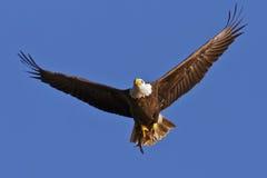 Aigle chauve avec des poissons photographie stock libre de droits