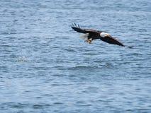 Aigle chauve avec un poisson images libres de droits