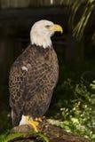 Aigle chauve blessé images stock
