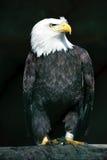 Aigle chauve captif images stock