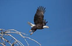 Aigle chauve décollant de la perche dans l'arbre mort Image stock