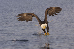 Aigle chauve d'Alaska Photo stock
