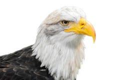 Aigle chauve d'isolement sur le fond blanc photo libre de droits