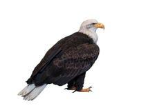 Aigle chauve d'isolement sur le fond blanc Chemin de coupure inclus Images libres de droits