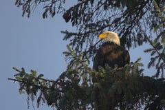 Aigle chauve dans l'arbre   Photographie stock libre de droits