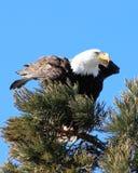 Aigle chauve dans l'arbre de pin images libres de droits