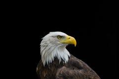Aigle chauve dans le profil d'isolement sur le fond noir Photographie stock libre de droits