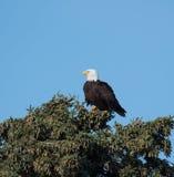 Aigle chauve dans un arbre Images stock