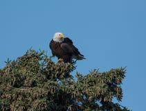 Aigle chauve dans un arbre Images libres de droits