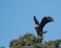 Aigle chauve dans un arbre Photographie stock