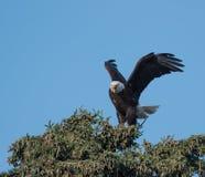 Aigle chauve dans un arbre Photographie stock libre de droits