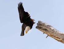 Aigle chauve de plongée images libres de droits