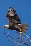 Aigle chauve effectuant le vol Image libre de droits