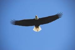 Aigle chauve en vol Images stock