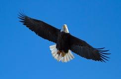 Aigle chauve en vol photographie stock libre de droits