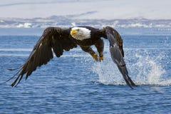 Aigle chauve essayant d'obtenir quelques poissons photos libres de droits