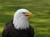 Aigle chauve faisant face bien à 3 image stock