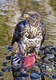 Aigle chauve gardant ses saumons Photos libres de droits