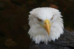 Aigle chauve - graphisme américain Photo libre de droits
