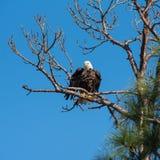 Aigle chauve hérissé de plumes Images libres de droits