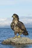Aigle chauve juvénile image libre de droits