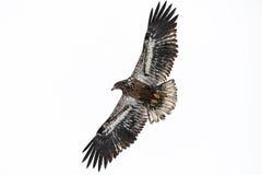 Aigle chauve juvénile Photos libres de droits